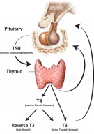 thyroid, graves, hashimotos, autoimmune thyroiditis, naturopath, herbalist, newcastle nsw, fatigue, weight gain, infertility, antibodies, tsh, t3, t4